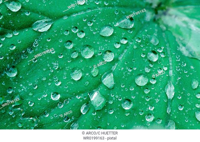 Ladys, Mantle, leaf, with, raindrops,Alchemilla, vulgaris