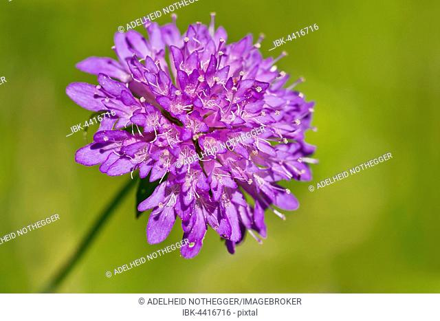 Forest widow flower (Knautia dipsacifolia), Burgenland, Austria