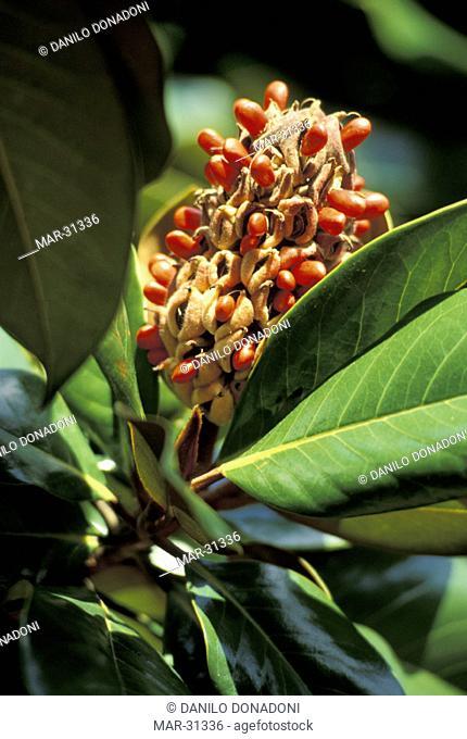 magnolia grandiflora fruits, erba, italy