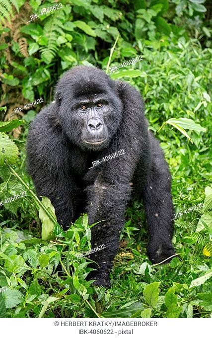 Mountain Gorilla (Gorilla beringei beringei) of the Nkuringo group, Bwindi Impenetrable Forest National Park, Uganda