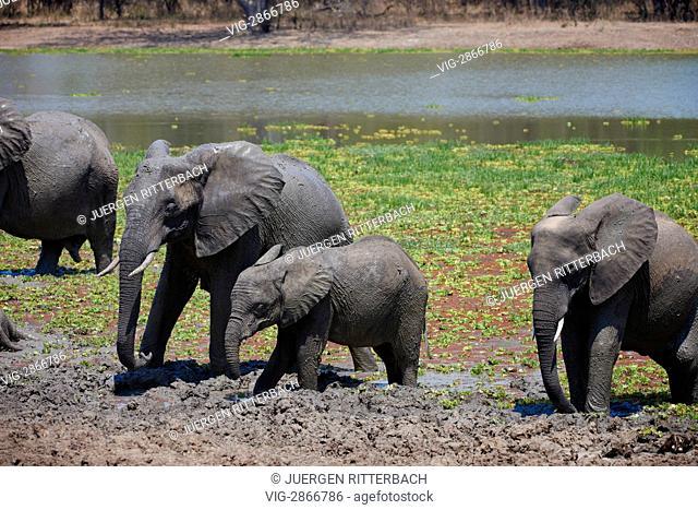 ZAMBIA, SOUTH, 01.10.2010, herd of African Bush Elephant at waterhole, Loxodonta africana, South Luangwa National Park, Zambia, Africa - South, Zambia