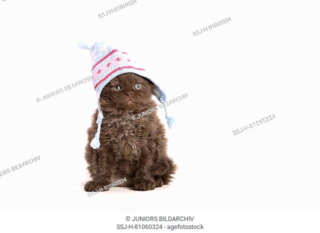 Selkirk Rex. Kitten (6 weeks old) sitting, wearing a knitted cap. Studio picture against a white background. Germany