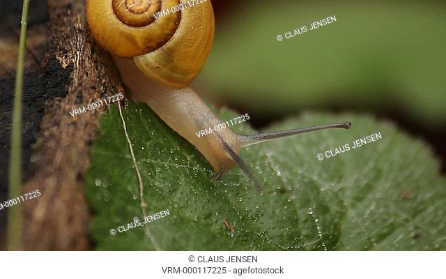 Yellow snail moving onto a leaf in a forest. Filmed in Frenderup, Denmark