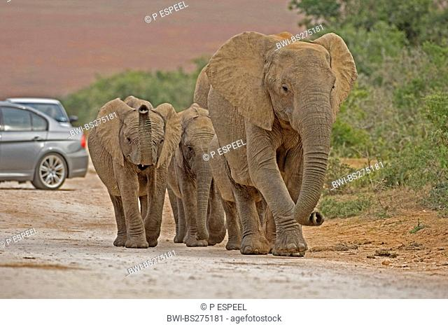 African elephant Loxodonta africana, family on gravel road with cars, South Africa, Eastern Cape, Addo Elephant National Park