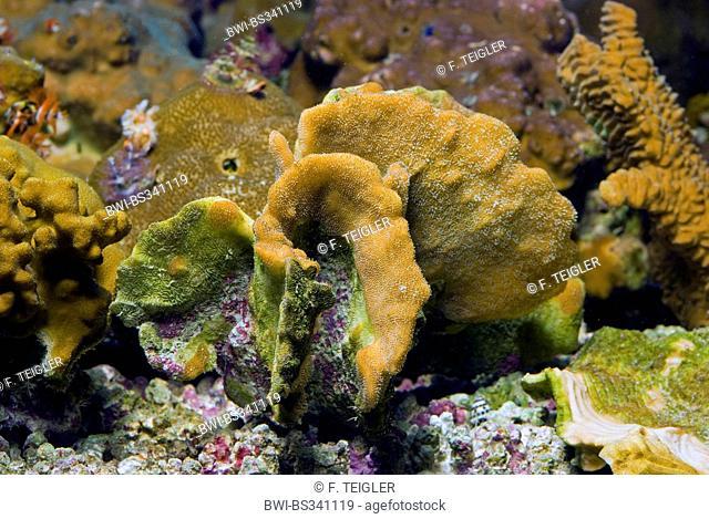Stone Coral (Pavona decussata), side view