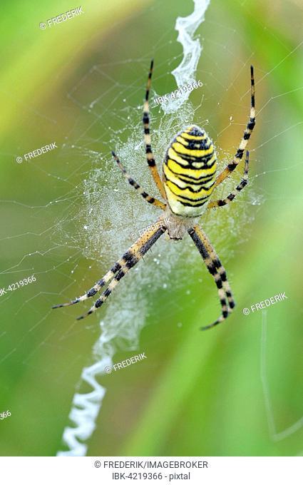 Wasp spider (Argiope bruennichi), female sitting in web, North Rhine-Westphalia, Germany