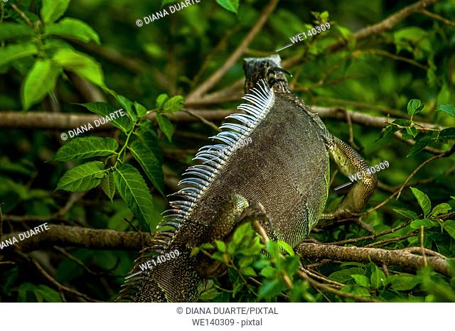 'Green Iguana ( Iguana iguana )'. This iguana has a long body covered with soft leathery scales, a long tail and short legs