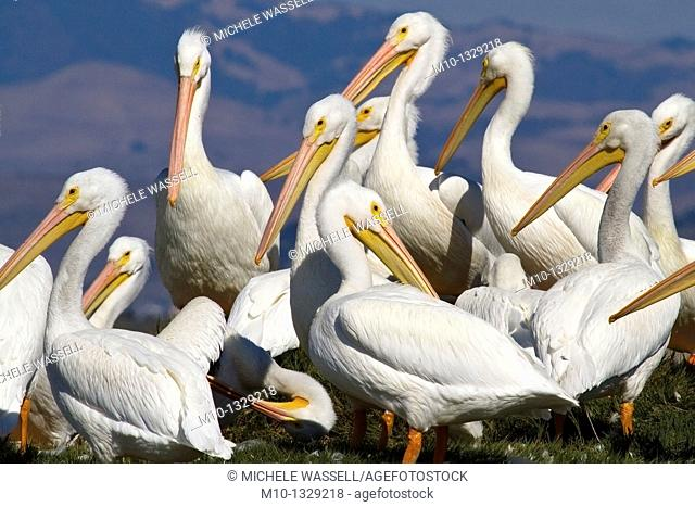 American White Pelicans on Grasslands Island