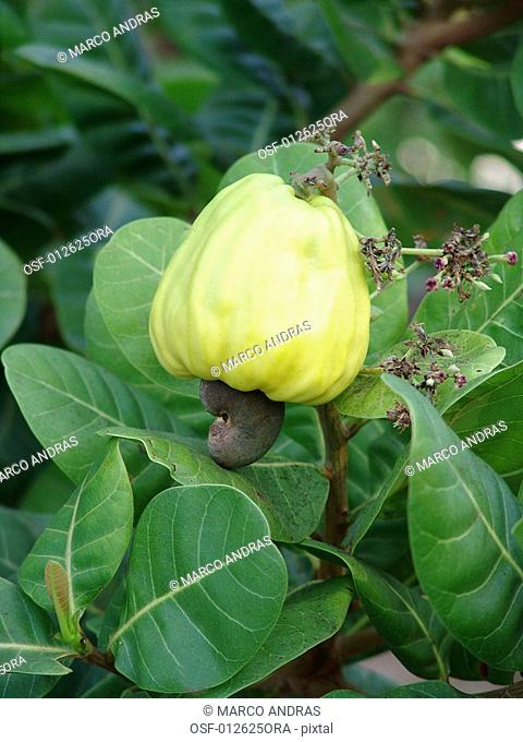 one green cashew nut fruit on tree