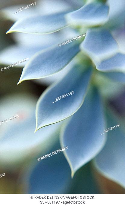 succulent flower with sharp leaves, Velebit Mountains, Croatia, Europe