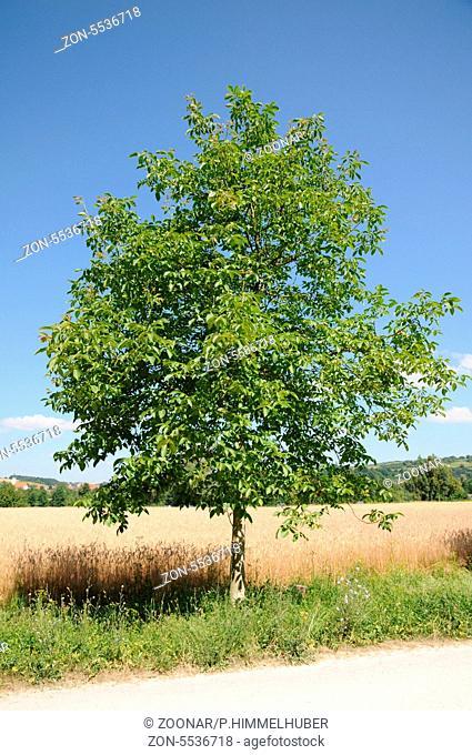 junger Baum, Solitär, Habitus
