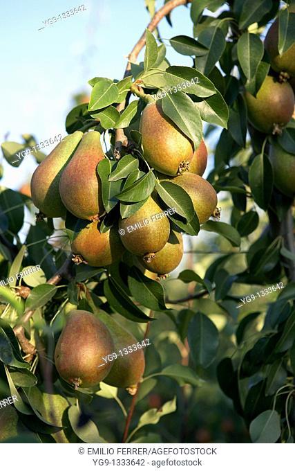 Pears Deboe on a tree  LLeida  Spain