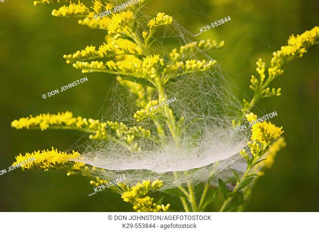 Canada goldenrod (Solidago canadensis) and Bowl and Doily spiderweb (Frontinella communis). Lively, Ontario, Canada