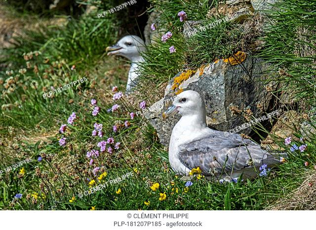 Northern fulmars / Arctic fulmars (Fulmarus glacialis) nesting in sea cliff at seabird colony at Hermaness, Unst, Shetland, Scotland, UK