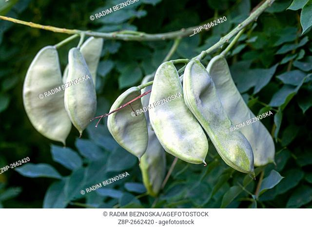 Kentucky coffeetree (Gymnocladus dioicus) pods