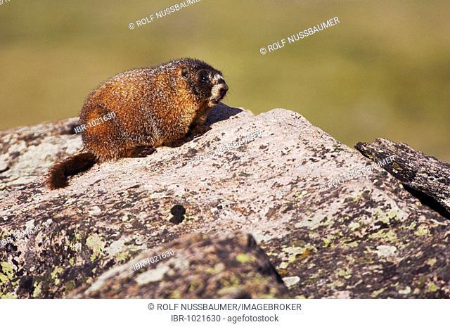 Yellow-bellied Marmot (Marmota flaviventris), adult on rock boulder, Rocky Mountain National Park, Colorado, USA