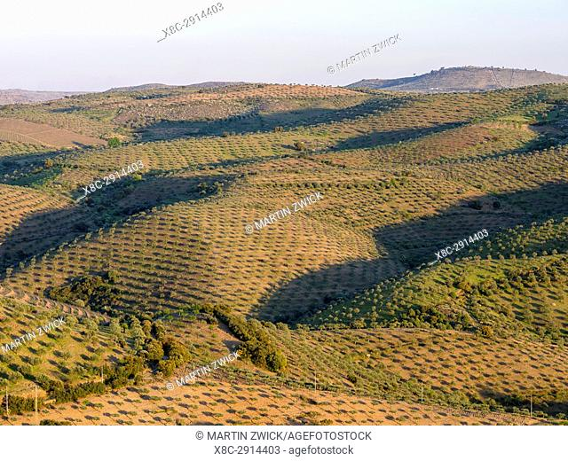 Olive grove near Castelo Melhor near Vila Nova de Foz Coa. The valley of river Douro. It is the wine growing area Alto Douro and listed as UNESCO World heritage