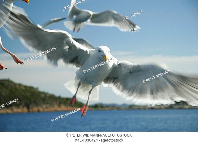 Europe, Norge, Norway, Seagulls in flight