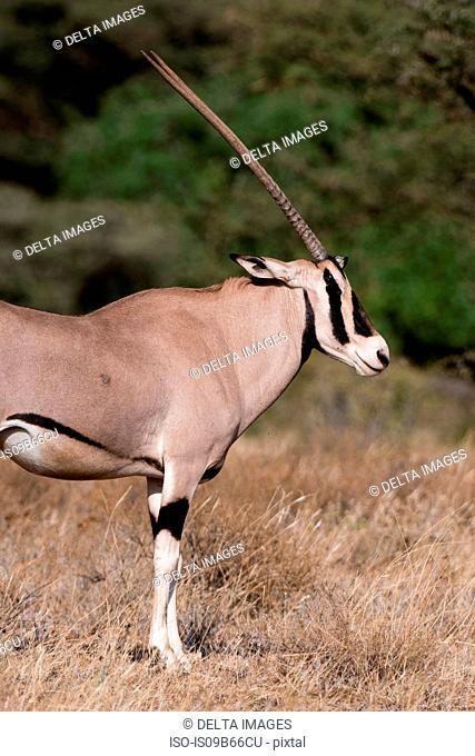 Beisa oryx (Oryx gazella beisa), Kalama Conservancy, Samburu, Kenya, Africa
