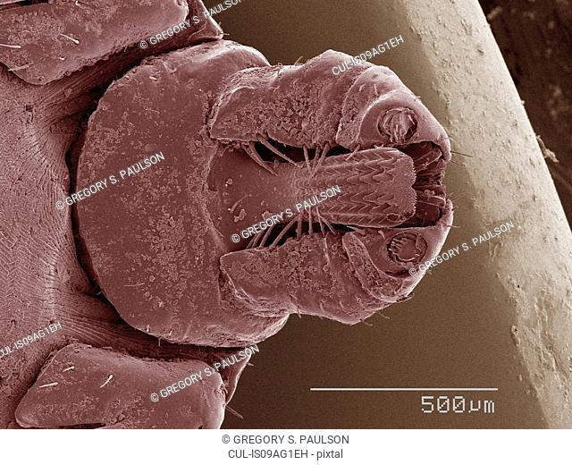 Coloured SEM of tick's mouthparts