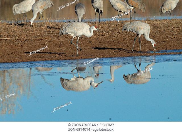 Sandhill Crane Bosque del Apache Wildlife Reserve