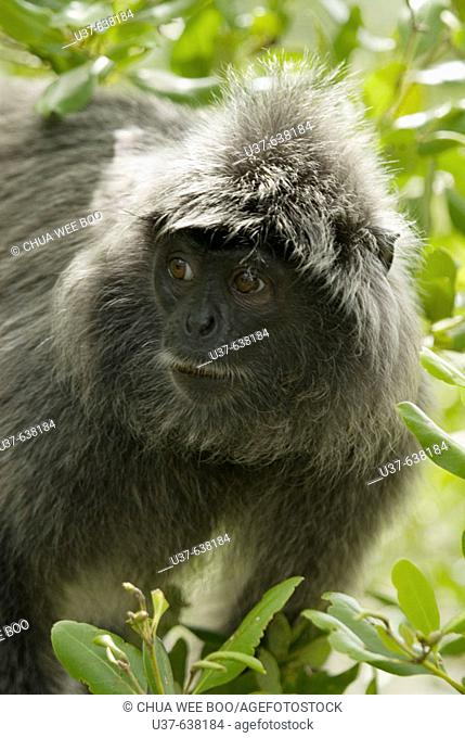 Silver Leaf Langur can be seen at Bako National  Park, Sarawak, Malaysia feeding on leaves