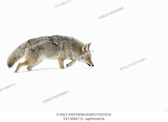 Coyote ( Canis latrans ), in winter, walking through deep snow, with its nose on the ground, hunting, scenting for prey, Yellowstone NP, USA