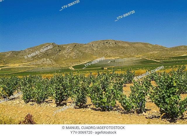 Vineyards. Bodega Casa de la Ermita. Denominación de Origen Jumilla. Comunidad autónoma de la Región de Murcia. Spain