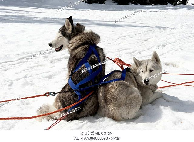 Sled dogs sitting on snow