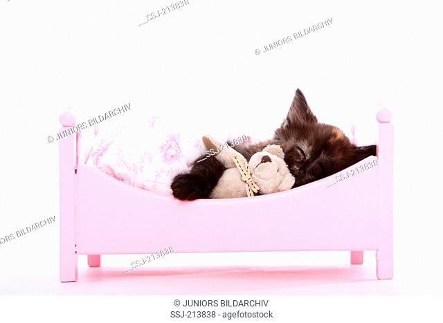 Norwegian Forest Cat. Kitten (6 weeks old) with Teddy bear sleeping in a pink dolls bed. Studio picture against a white background. Germany
