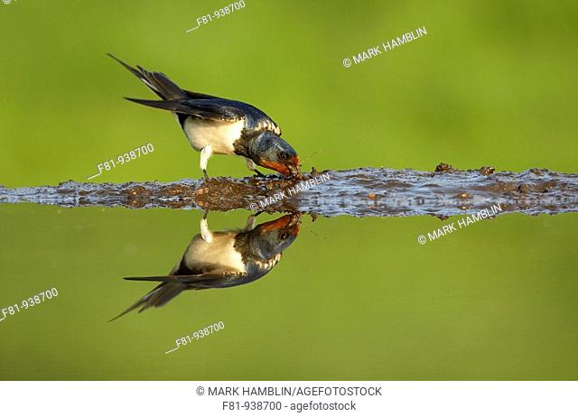 Swallow Hirundo rustica adult collecting mud from edge of pond  UK  May 2008