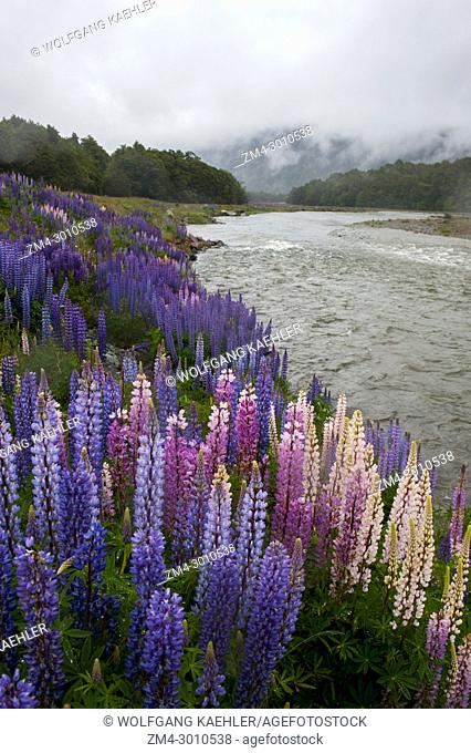 Colorful lupines, an introduced species, flowering in Fjordland National Park on the South Island in New Zealand
