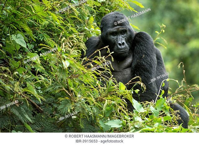 Mountain Gorilla (Gorilla beringei beringei), male, Bwindi Impenetrable National Park, Uganda