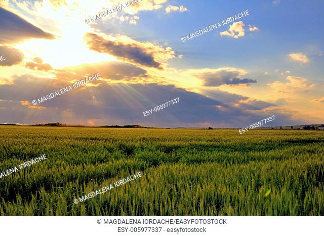 wheat field with sunset