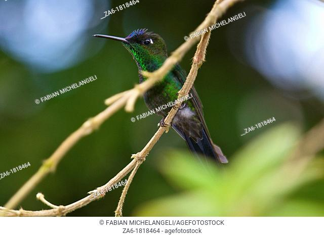 Violet-fronted brilliant Heliodoxa leadbeateri, male bird, perched in the rain forest of northern Venezuela