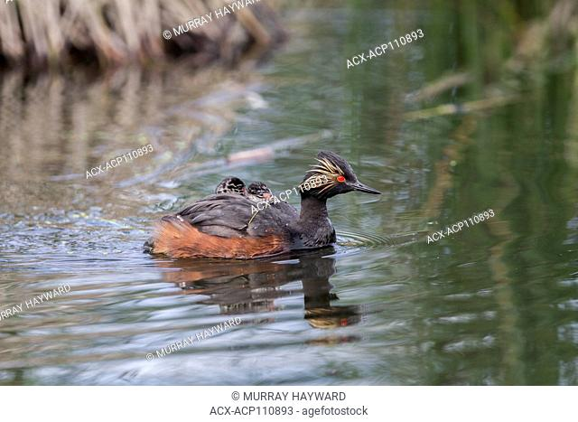 Eared Grebe, (Podiceps nigricollis) Beautiful colored grebe, with 2 babies on her back. Weed Lake, Alberta, Canada