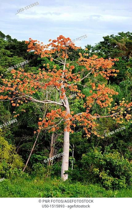 Sumauma tree, raw material for plywood