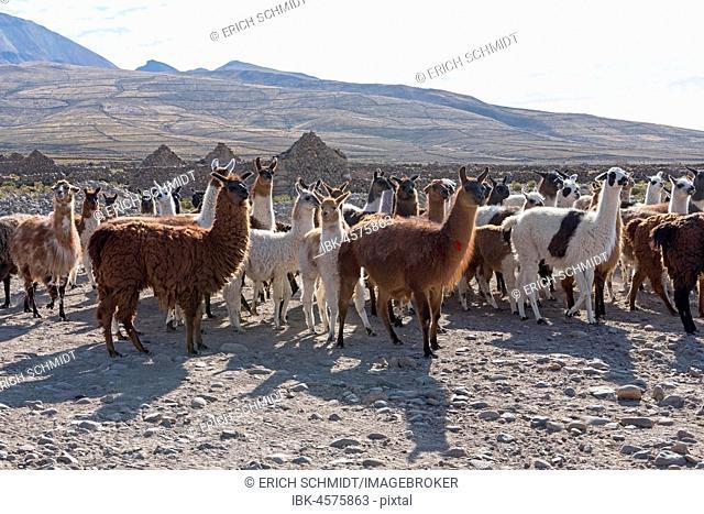 Llamas (Lama glama), herd in barren landscape, Altiplano, Andes, Colchani, Potosí, Bolivia