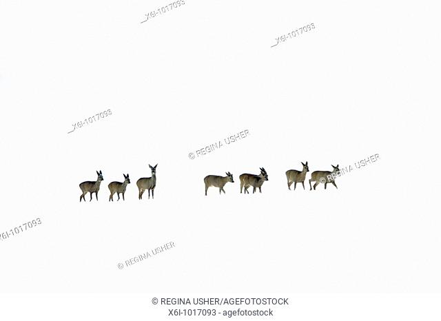 Roe deer, Capreolus capreolus, herd in winter in snow wilderness, Harz mountains, Lower Saxony, Germany