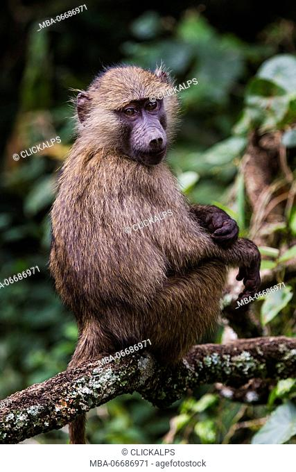 Macaque monkey in Tanzania, Africa