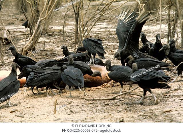 Black Vulture Coragyps atratus At River Dolphin carcass - Amazon, Brazil