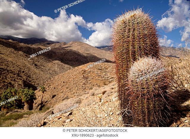 cactus in the landscape at Palm Canyon, Palm Springs, California, United States of America, USA