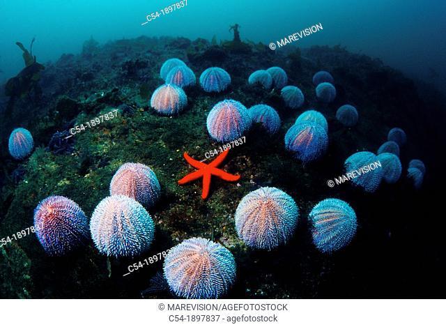 European edible sea urchin, Echinus esculentus, Eastern Atlantic, Galicia, Spain
