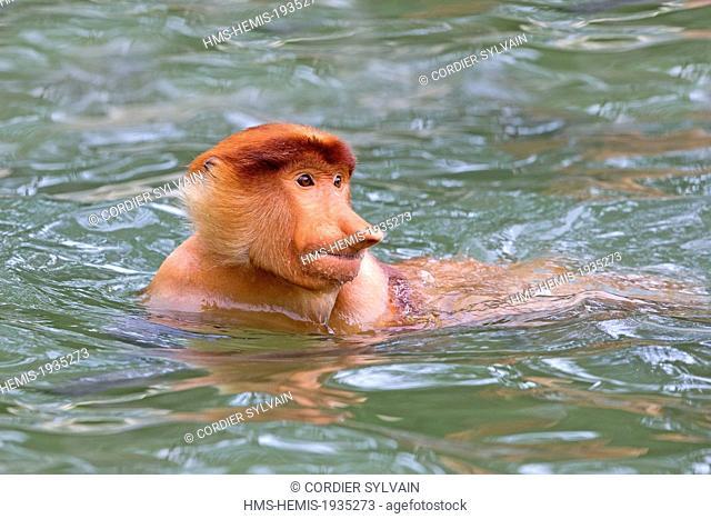 Malaysia, Sabah state, Labuk Bay, Proboscis monkey or long-nosed monkey (Nasalis larvatus), swimming