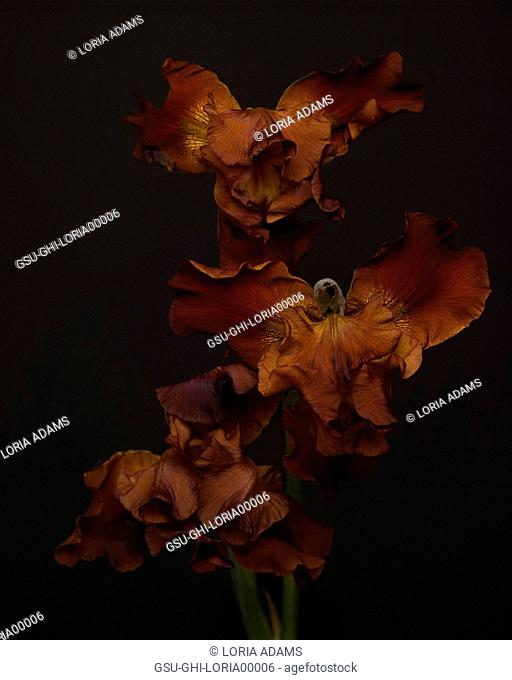 Maroon Irises against Dark Background