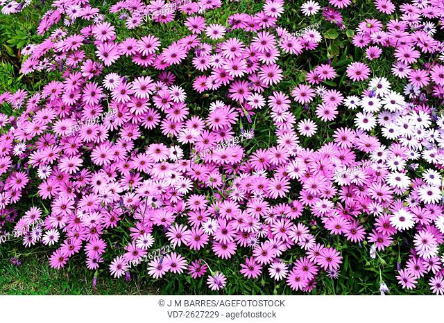 Cape marguerite (Osteospermum ecklonis or Dimorphoteca ecklonis) is a perennial herb native to South Africa but widely cultivated as an ornamental plant