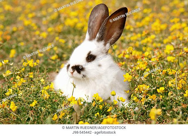 Young rabbit (domestic animal) in flower meadow. Bavaria, Germany, Europe