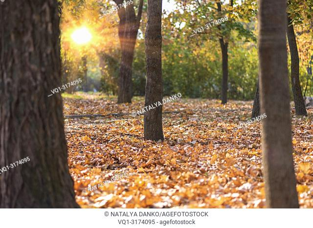 autumn city park with fallen yellow maple leaves in the rays of the bright sun, Ukraine
