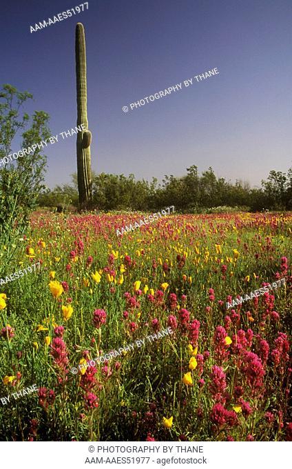 Blooming Desert w/ Owl's Clover, Mex. Poppies & Saguaro, AZ, Arizona 91A-34-16-R-92 Organ Pipe N.M