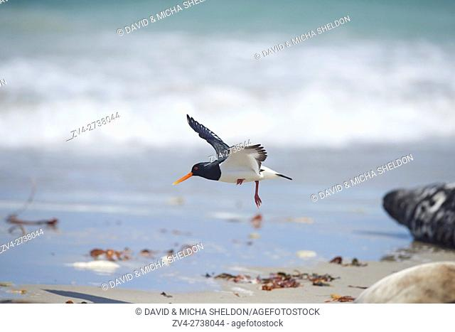 Close-up of Eurasian oystercatcher (Haematopus ostralegus) in spring (april) on Helgoland a small Island of northern Germany